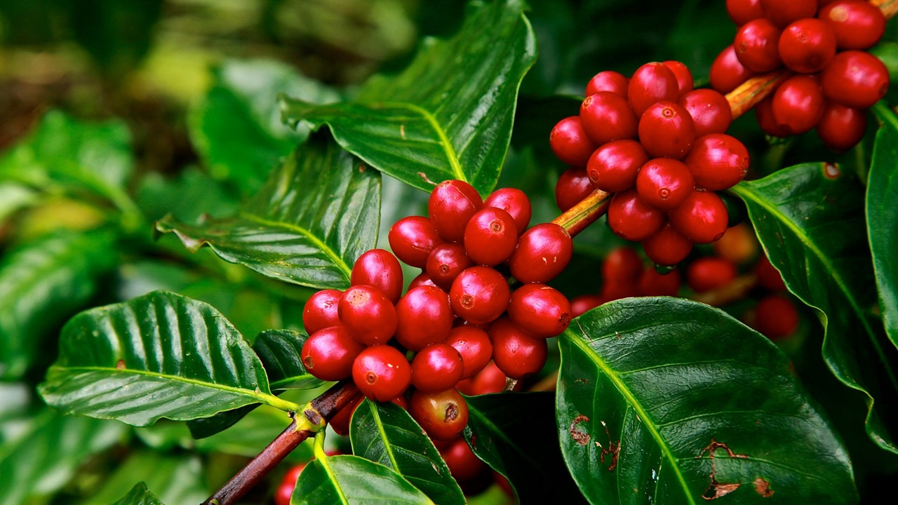 Many Coffee Species At Risk Of Extinction Due To Climate Change