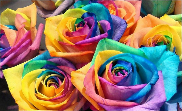 Beautiful Rainbow Rose Seeds (100 Seeds)