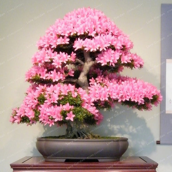 Cherry Blossom Bonsai Seeds (10 Seeds)