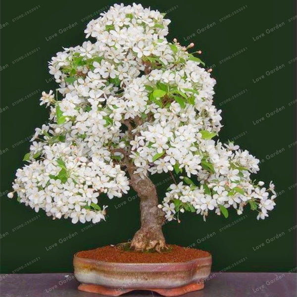 Cherry Blossom Bonsai Seeds (10 Pcs)