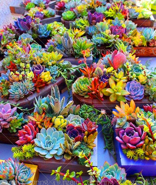 Real Mini Succulent Cactus Seeds (100 Seeds)
