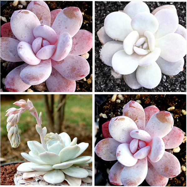 Mixed 3 Type Of Echeveria Laui - Pink Succulent Seeds (20 seeds)