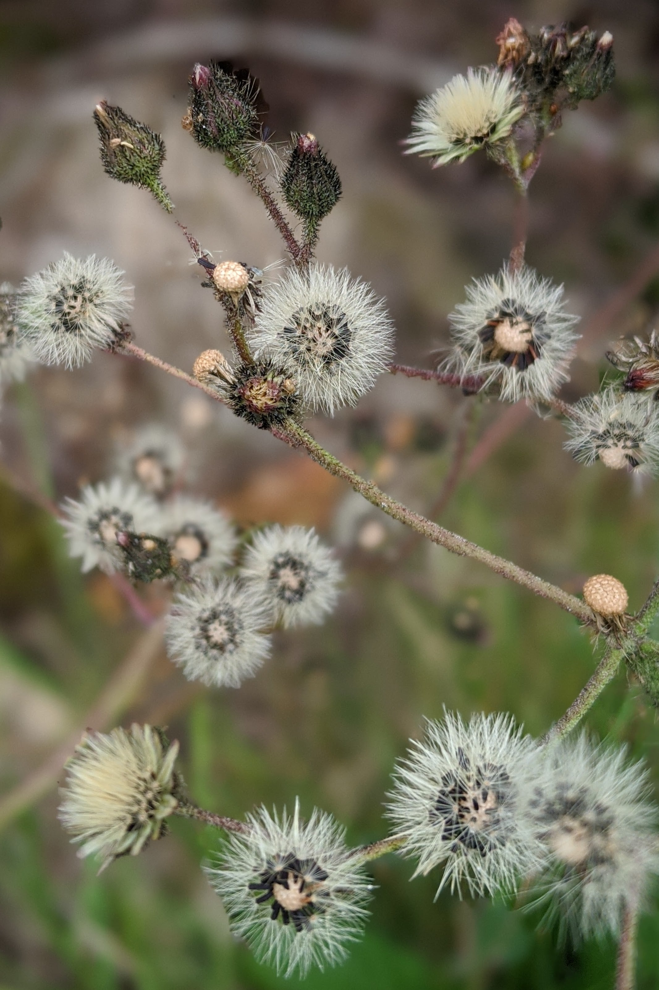 fox and cubs seed heads