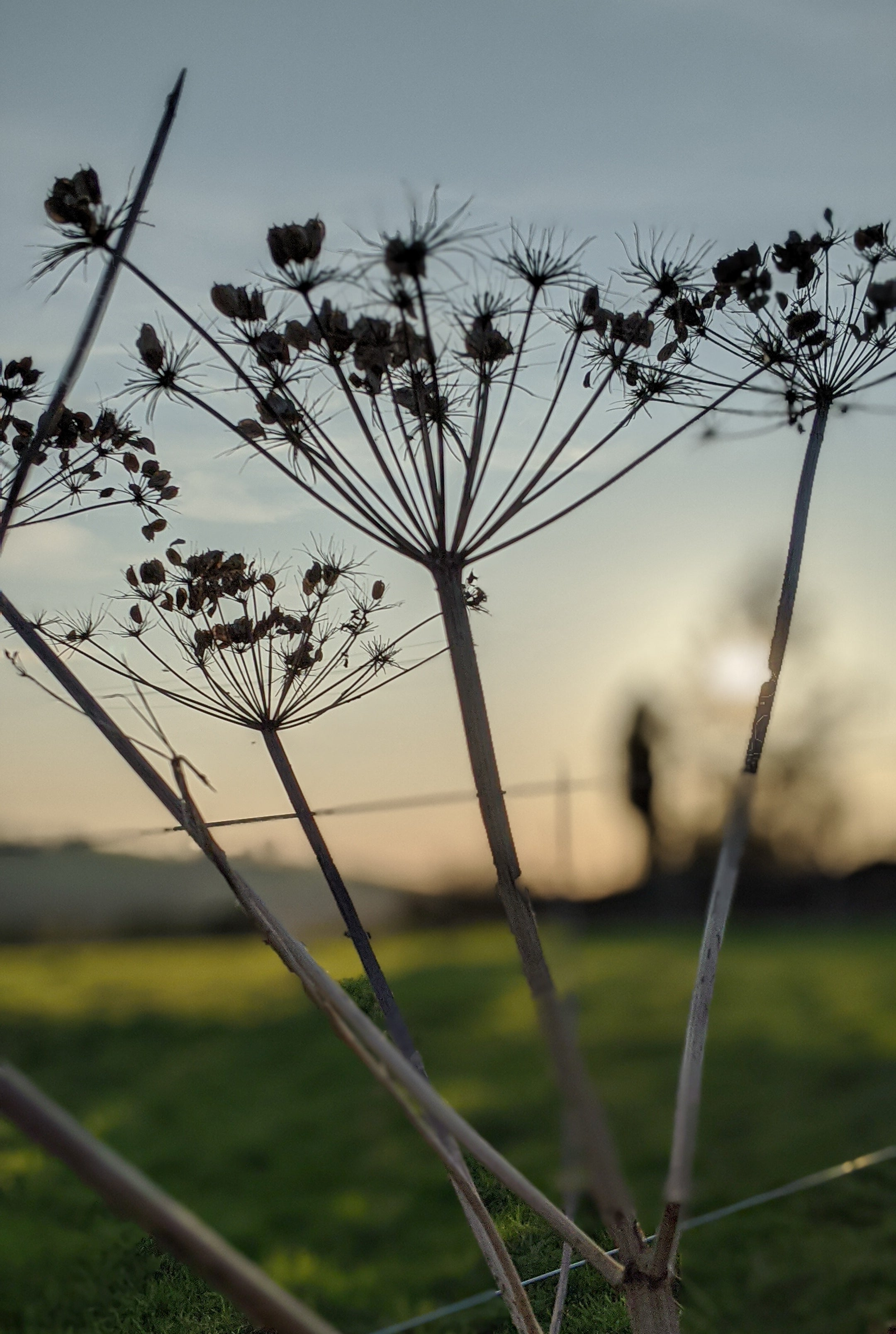 hogweed seed head at sunset