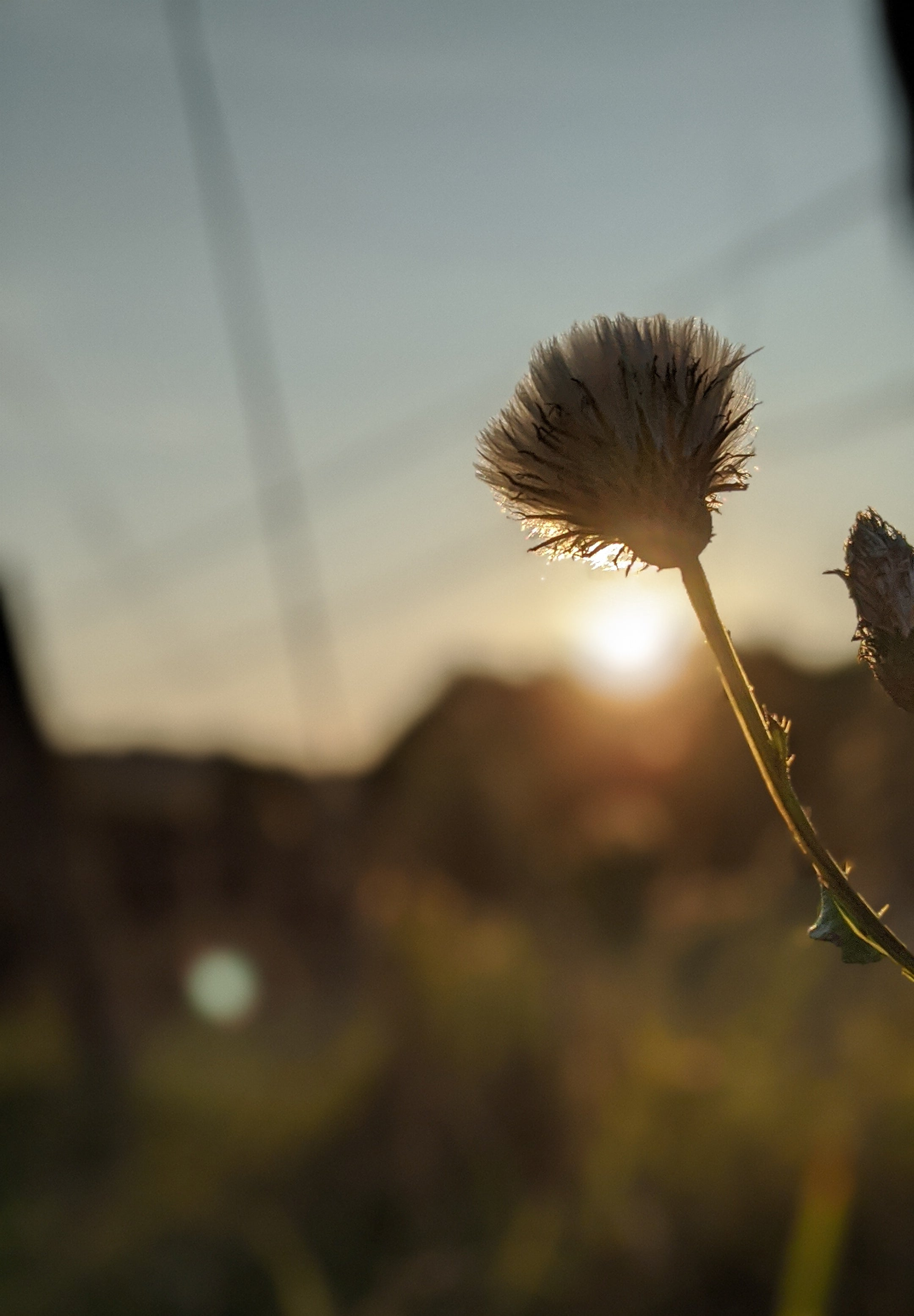 thistle down at sunset