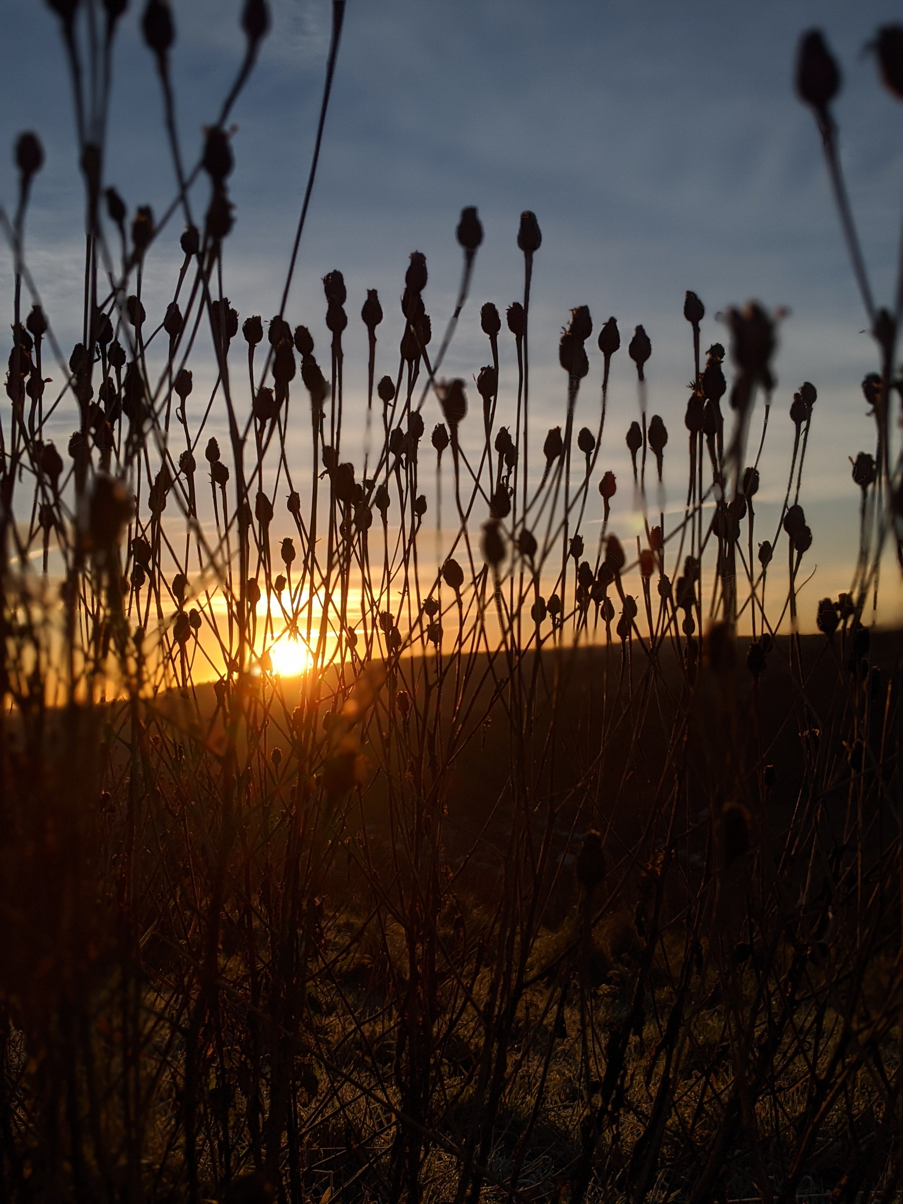 sunrise and dried plants