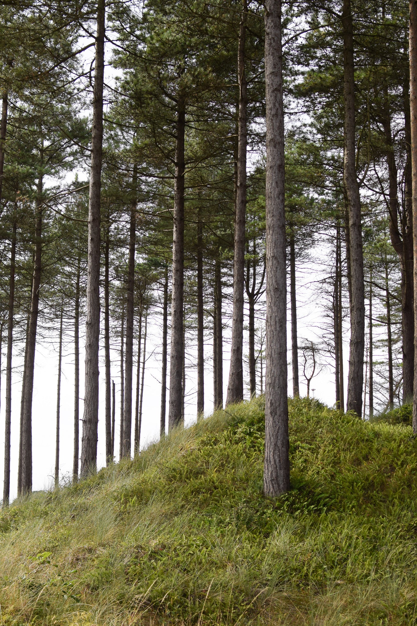 a hillock in Newborough Forest, Angelsey