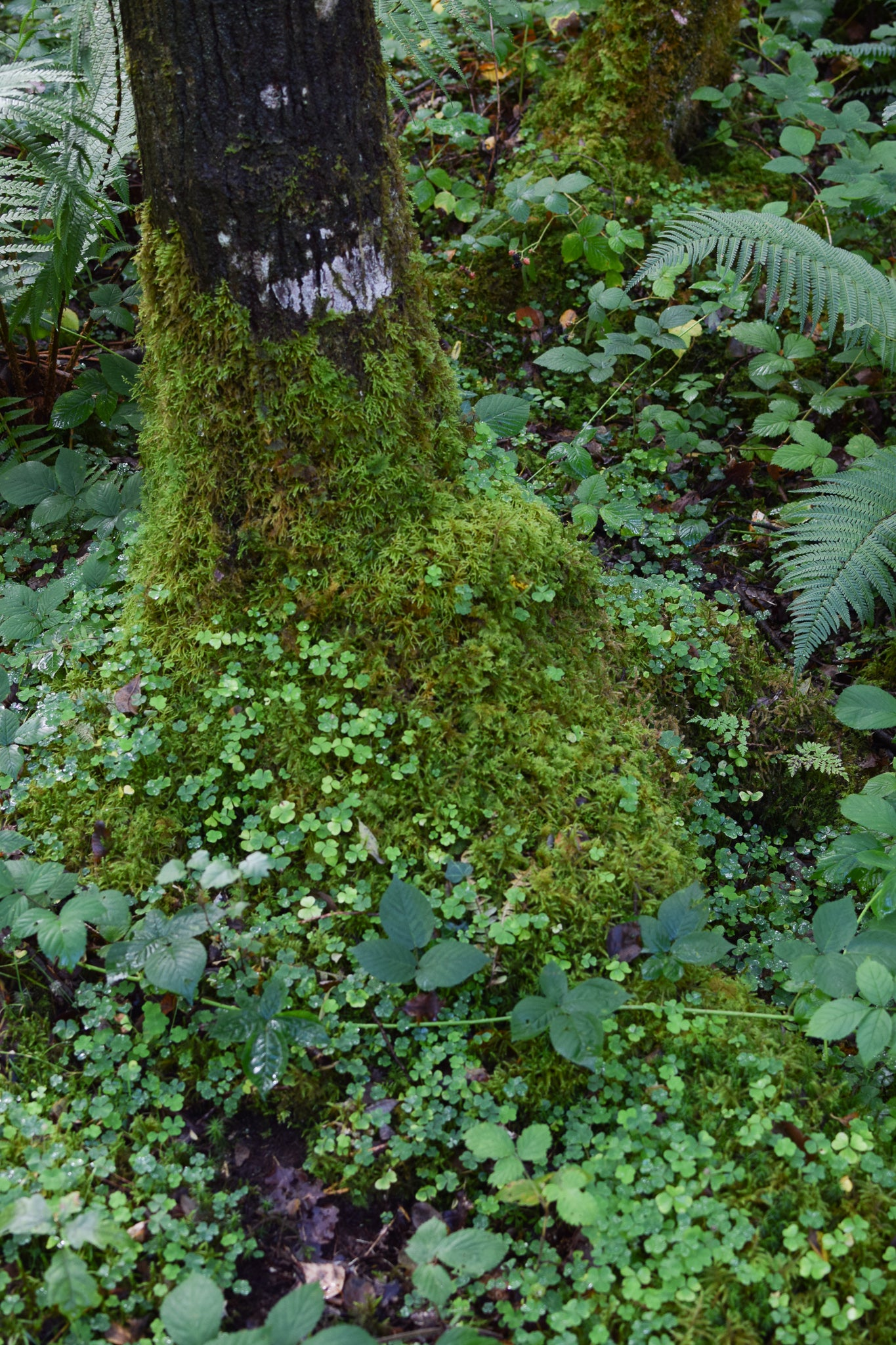 a tee stump covered in thick moss and wood sorrel, coed felenrhyd