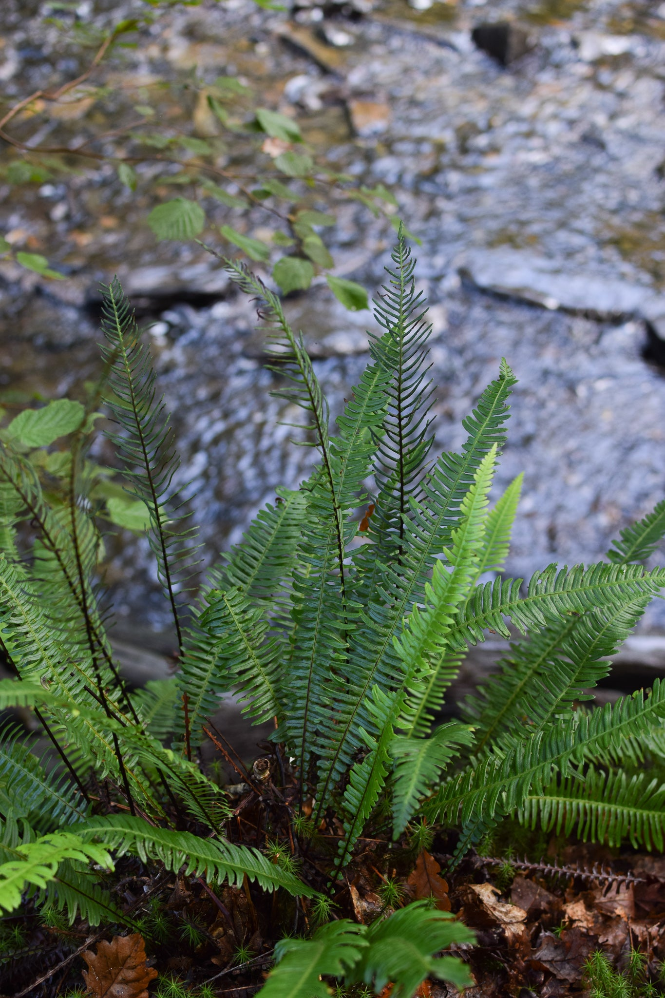 sword ferns by the river at the celtic rainforest