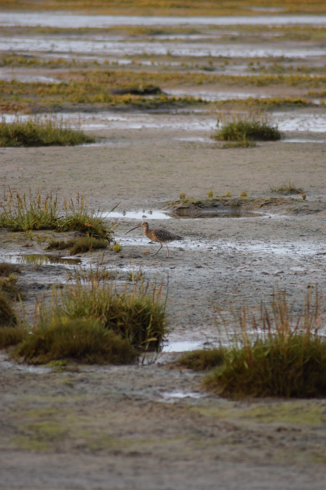 curlew wading in the mud flats