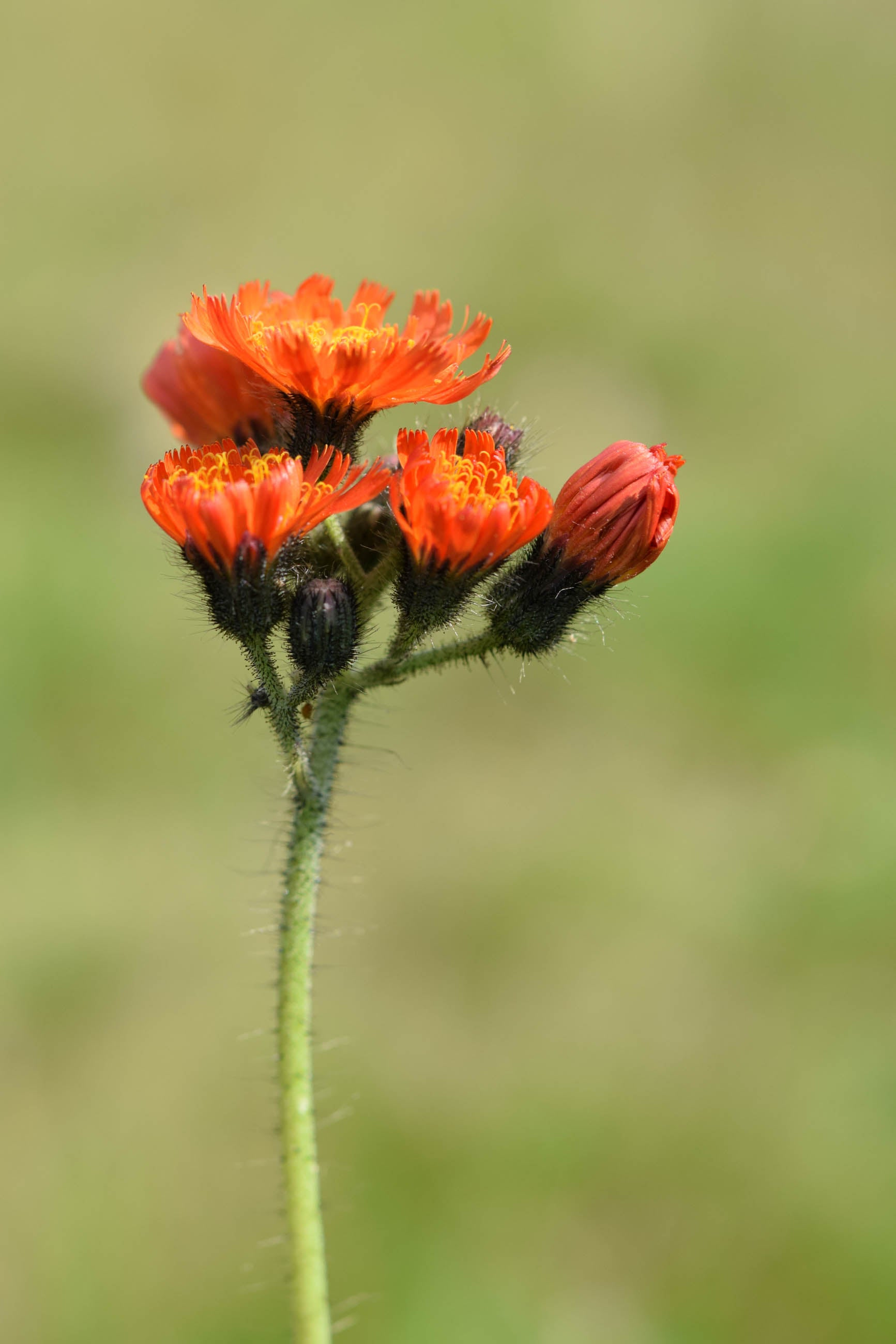 Fox and cubs flowers
