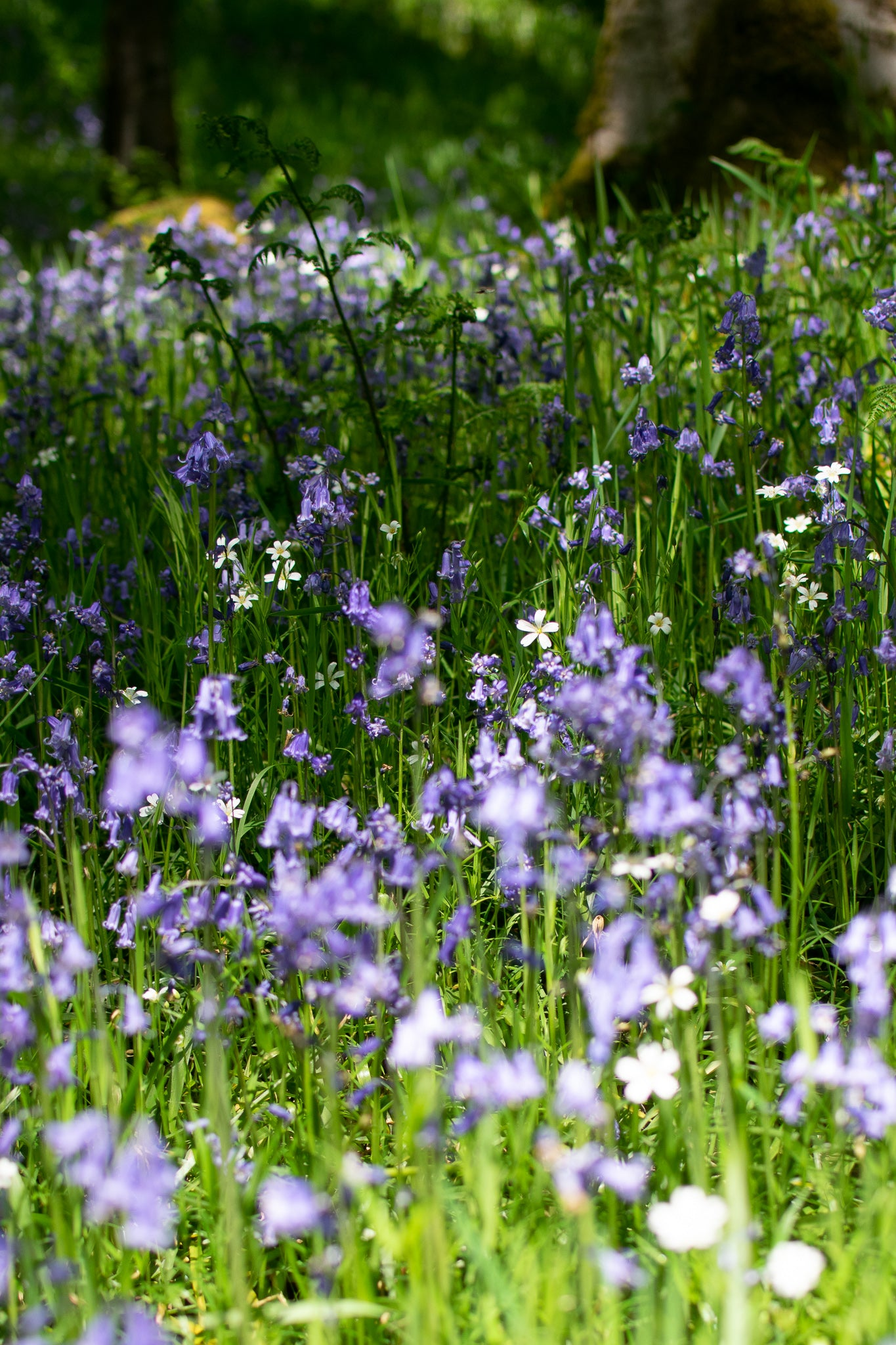 bluebells and greaterstitschworts in the sun