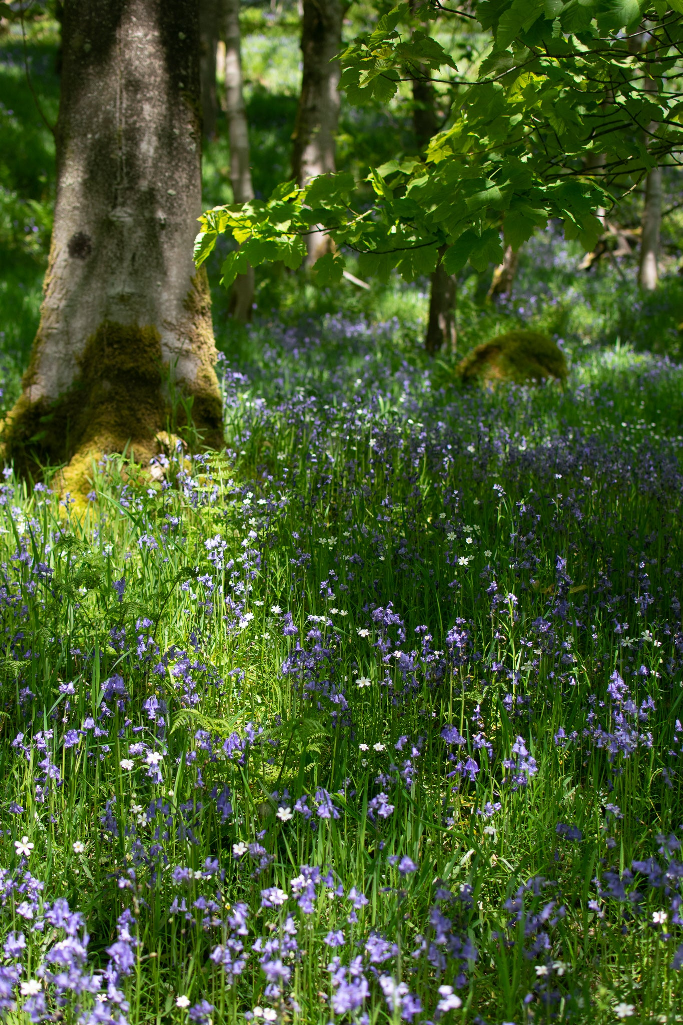 bluebells and stistchworts at Hardcastle Craggs
