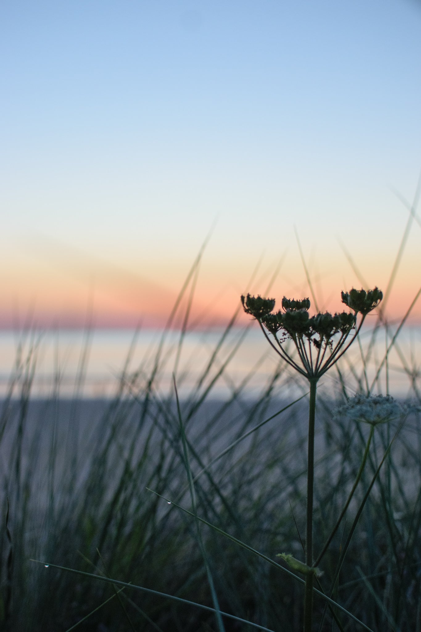 early morning light on the hogweed at Newton by the sea, Northumberland