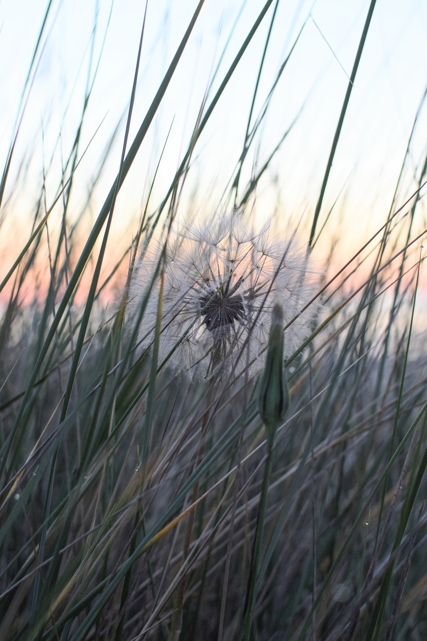Goats Beard seed head in the sand dunes, Newton-by-the-sea, Northumberland