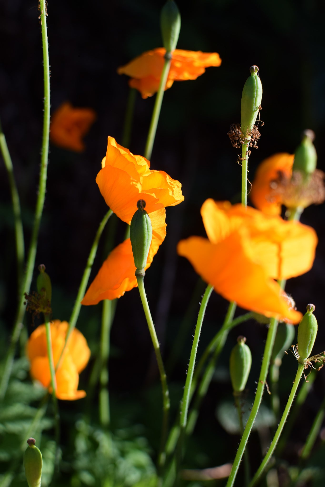 close up of orange welsh poppies