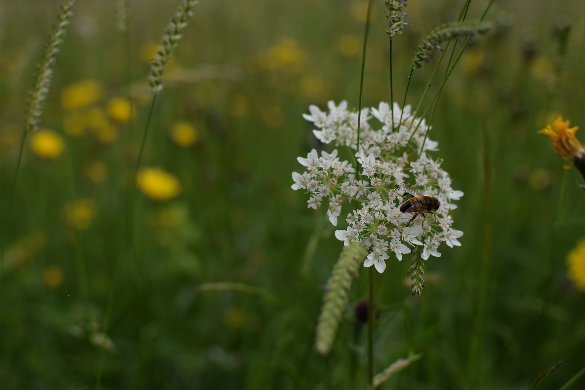 a bee on a hogweed flower at Eades Meadow