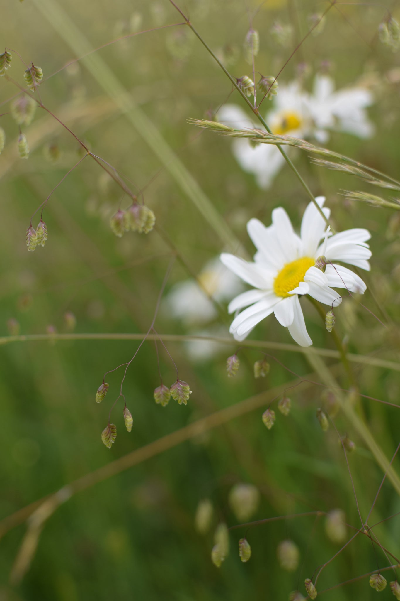 quaking grass and daisies at Eades Meadow, Worcestershiree