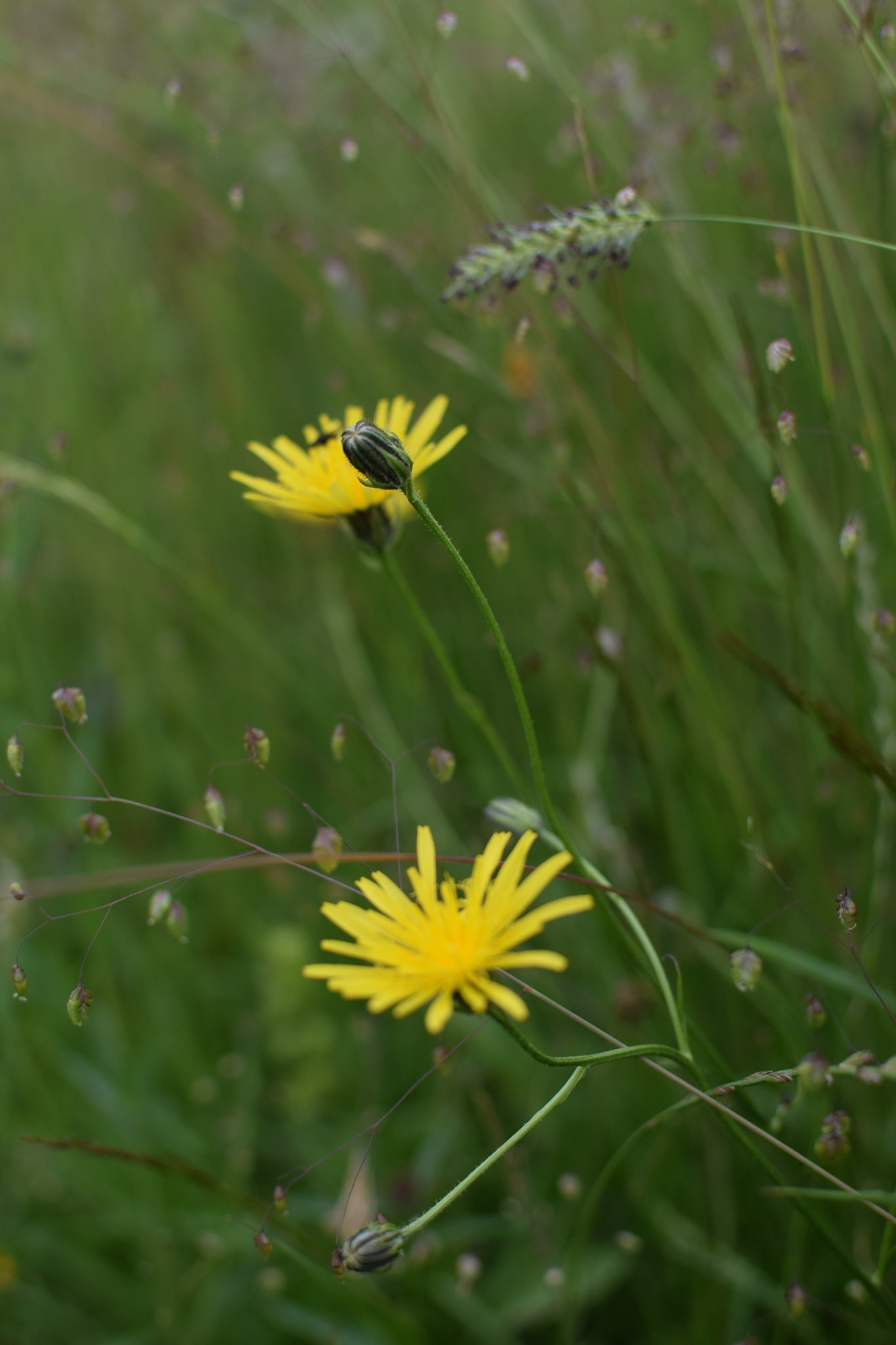 quaking grass and knapweed