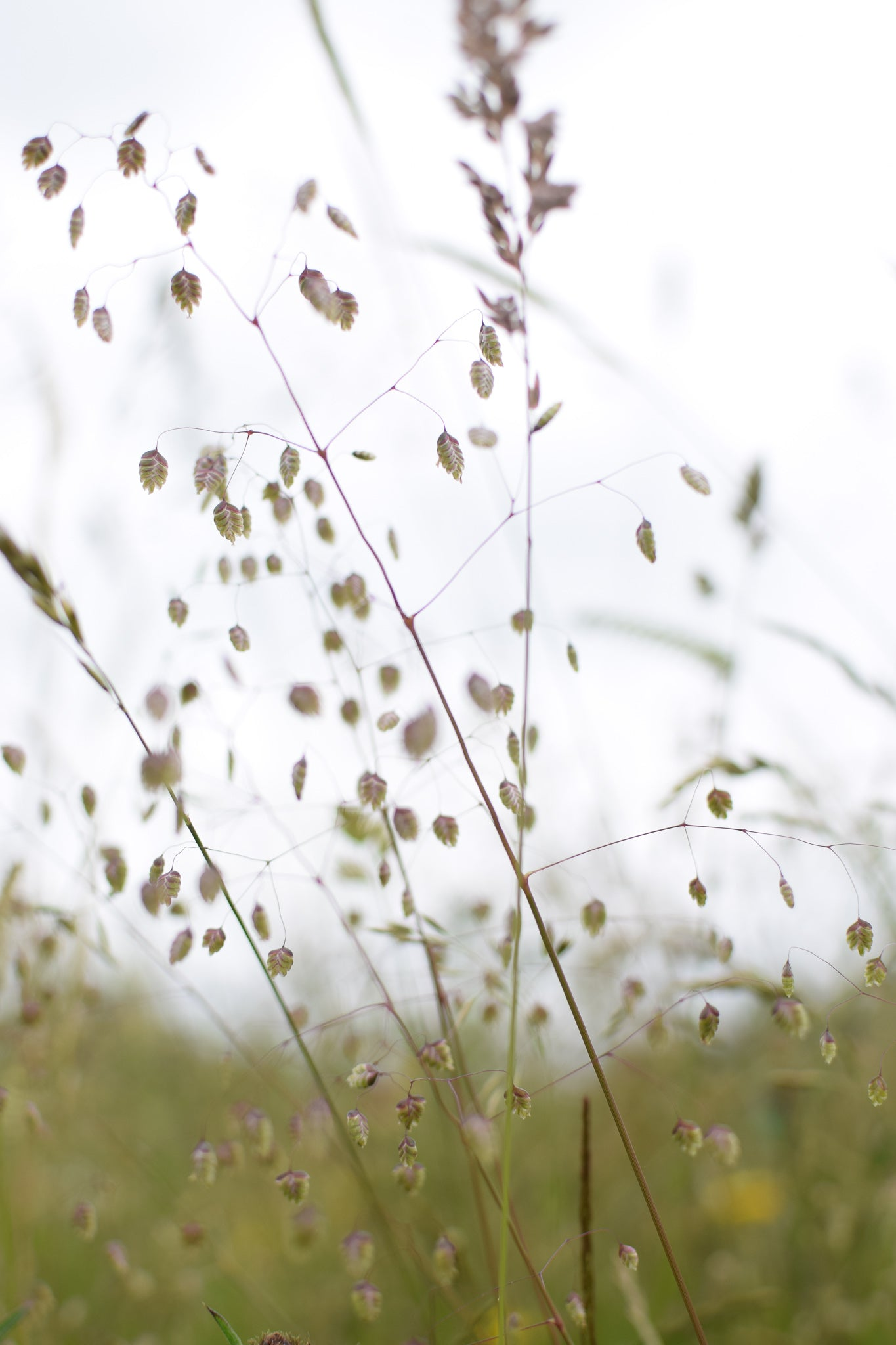 quaking grass at Eades Meadow, Worcester Wildlife Trust ancient wildflower meadow