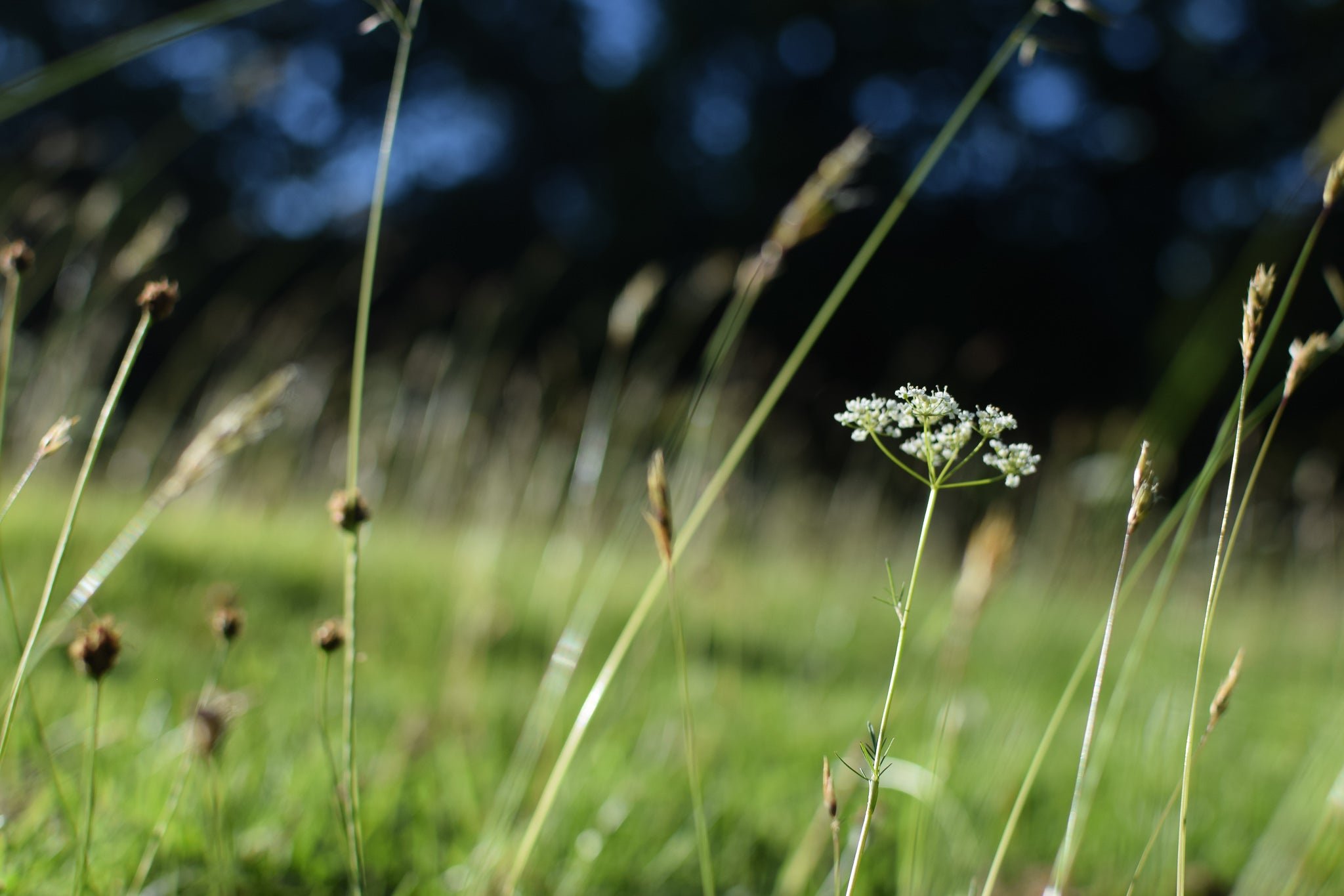 grasses and pignuts dancing in the breeze