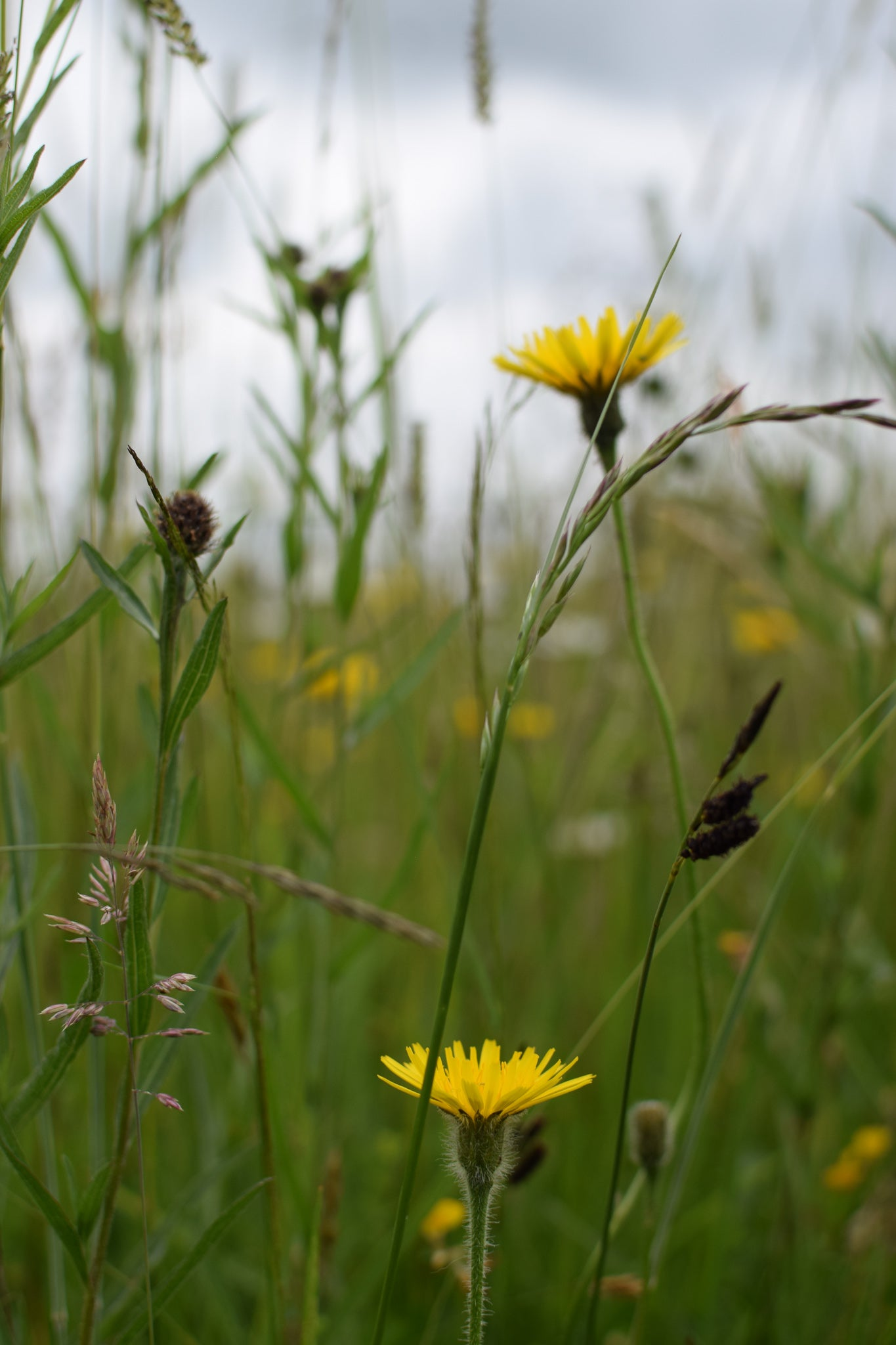 Knapweed in the long grass at Eades Meadow, Worcestershiree