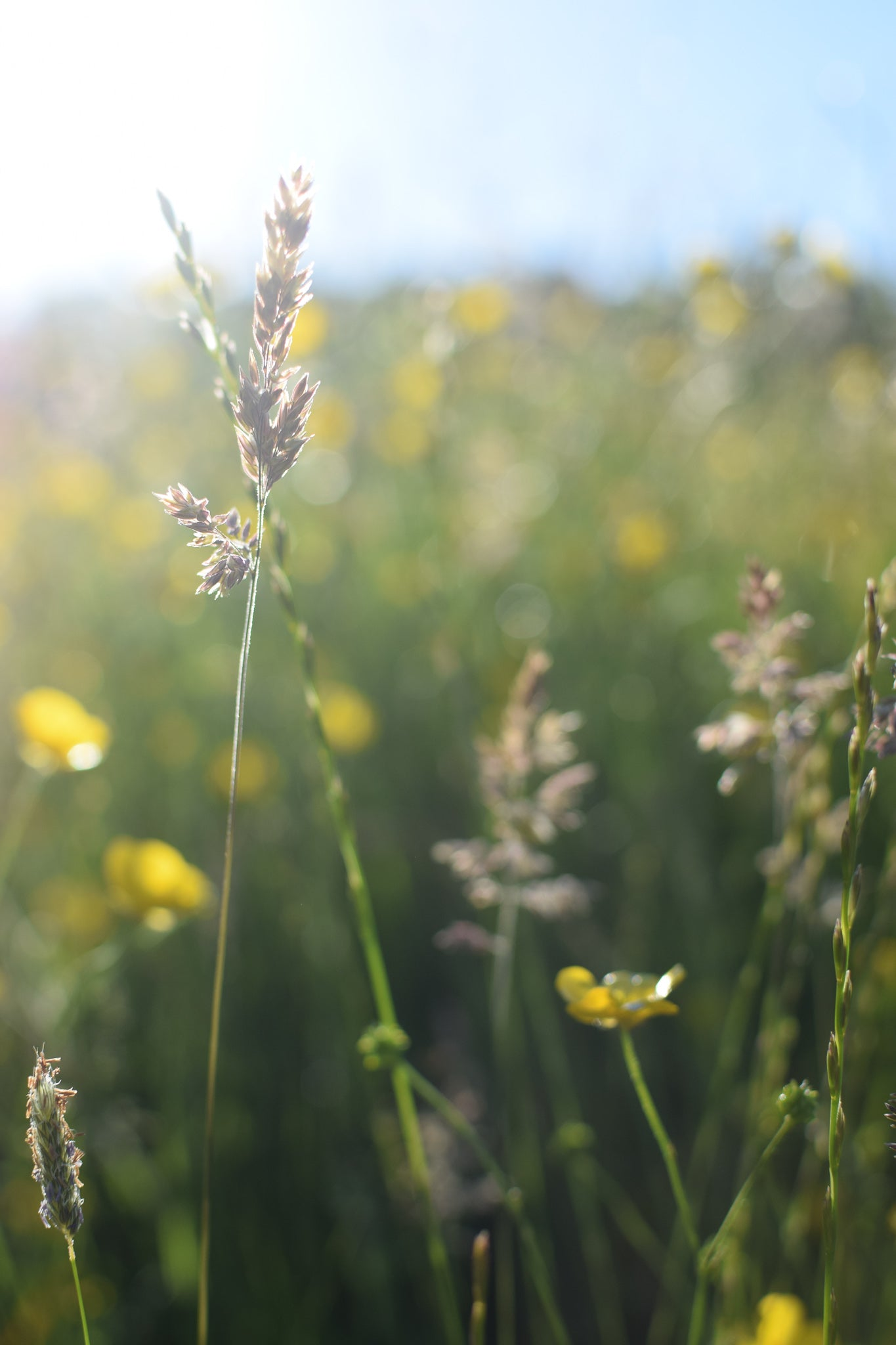 details of a buttercup meadow