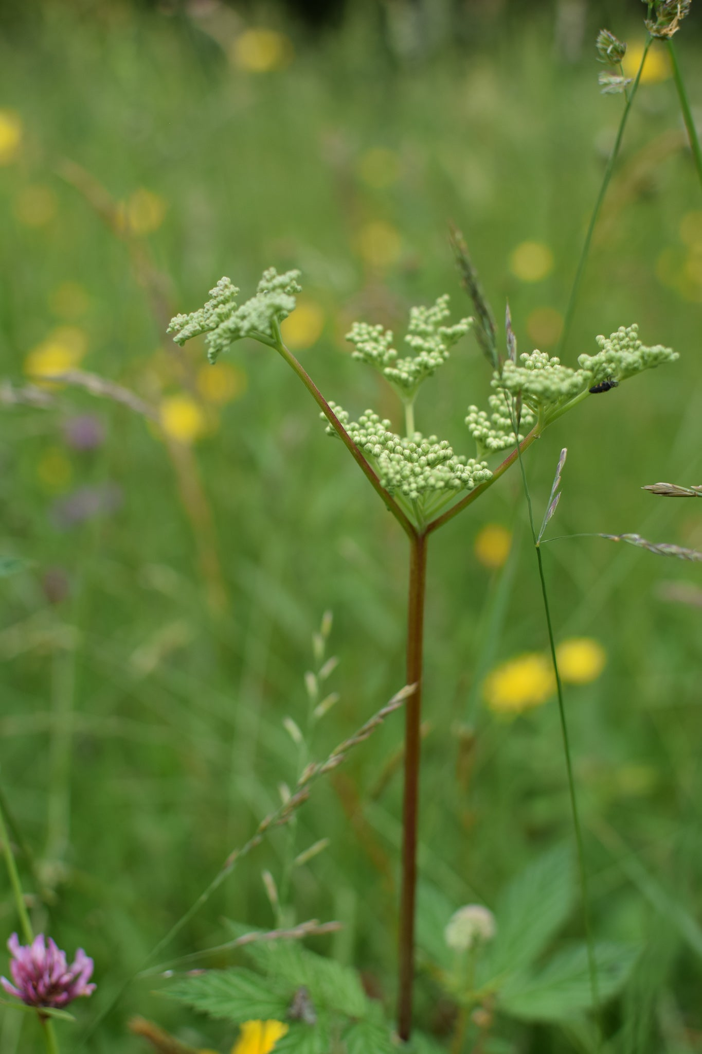 Meadowsweet about to flower at Eades Meadow