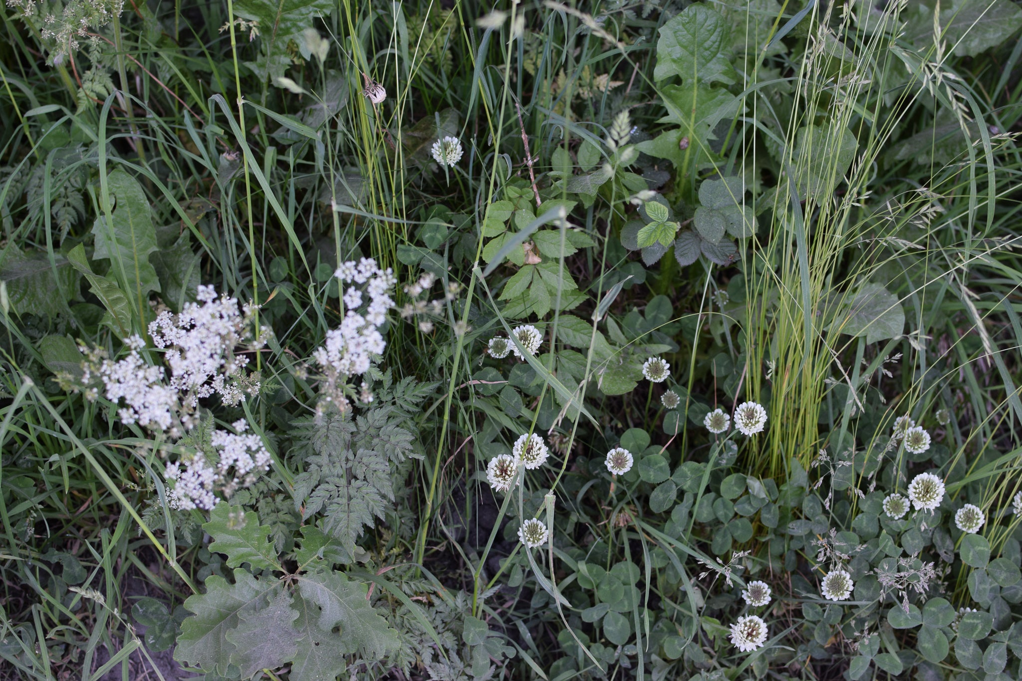 white clover at the road side
