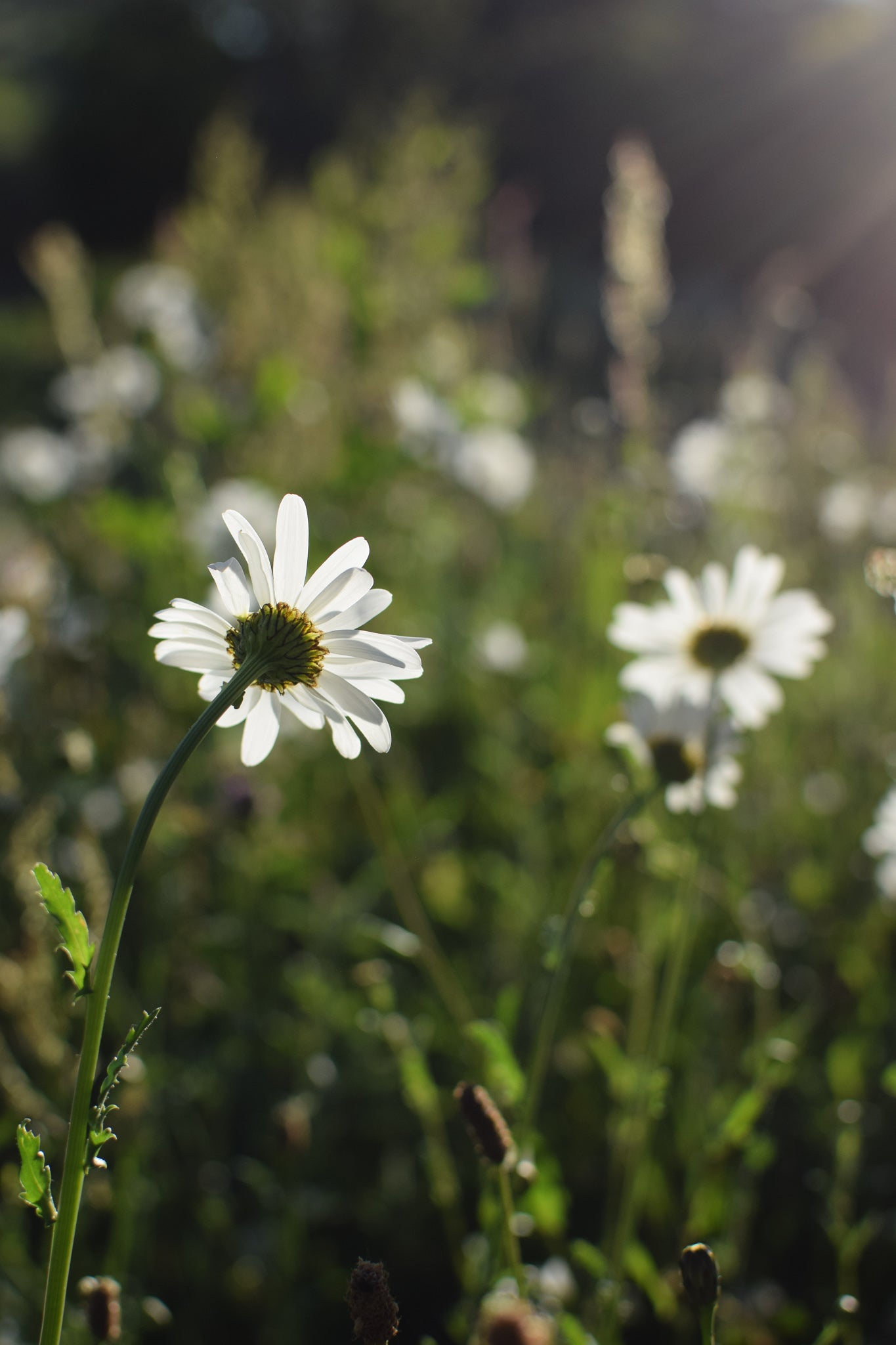 daisies in the park