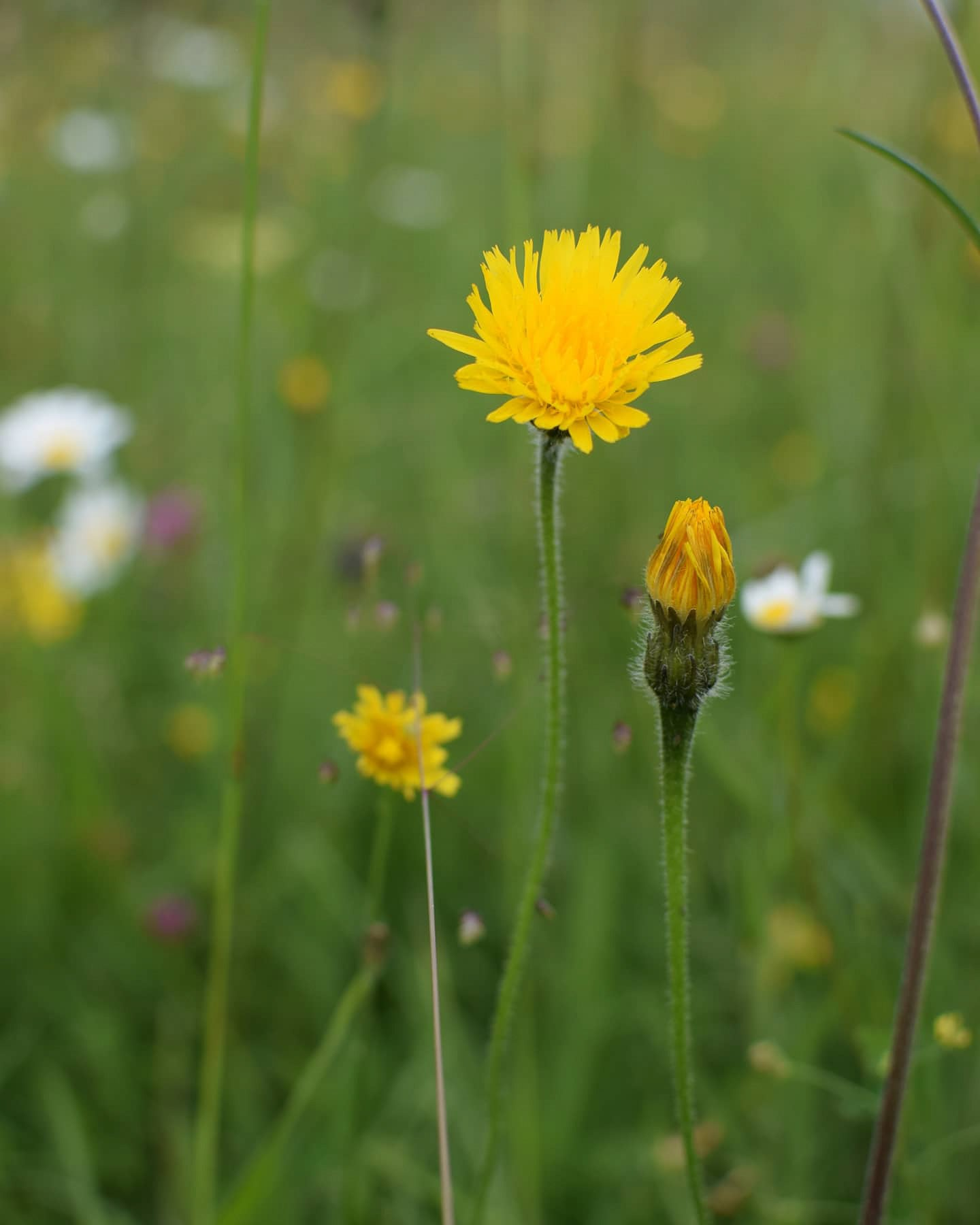 happy knapweed, yellow flowers in the green grass