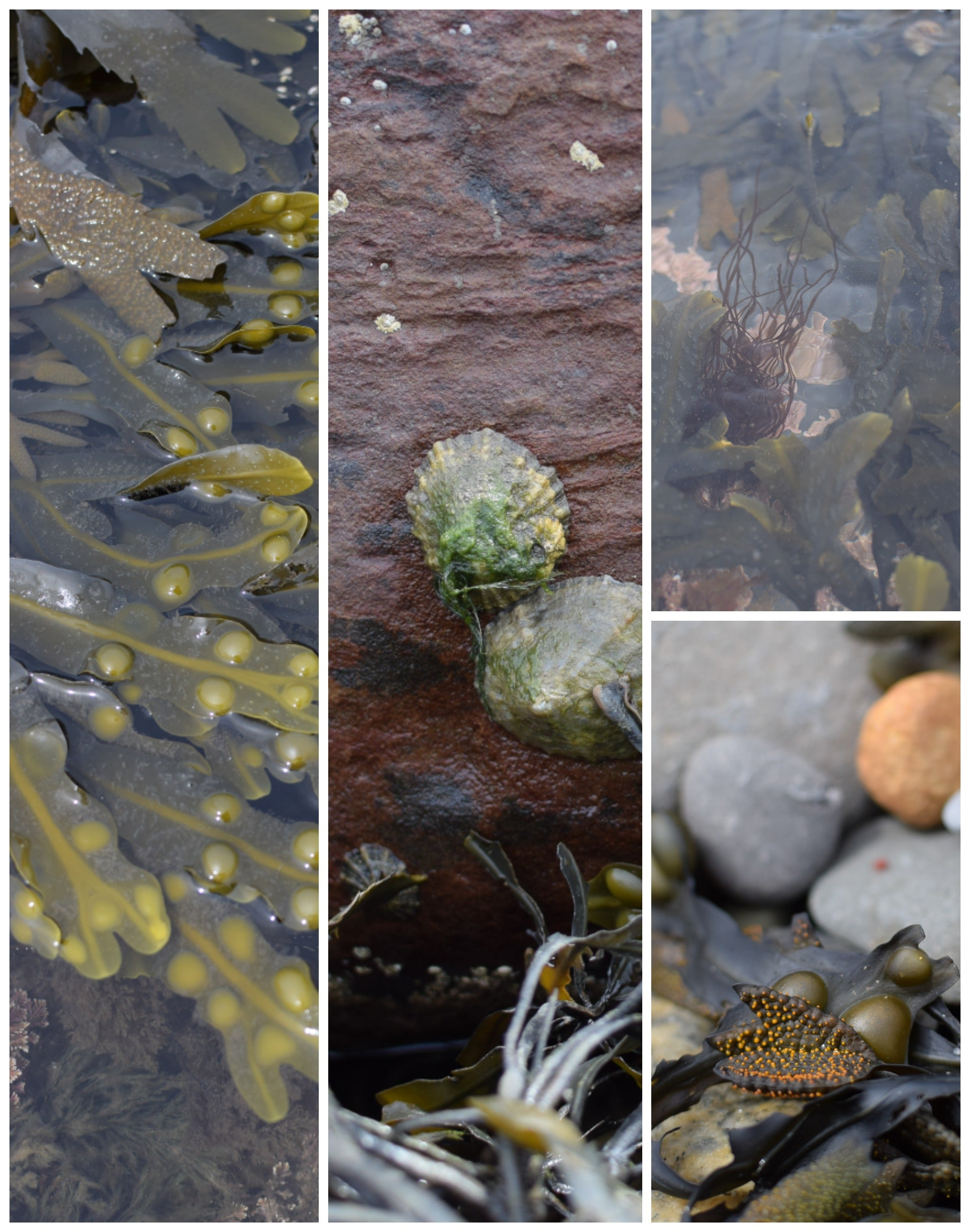 seaweed and limpets