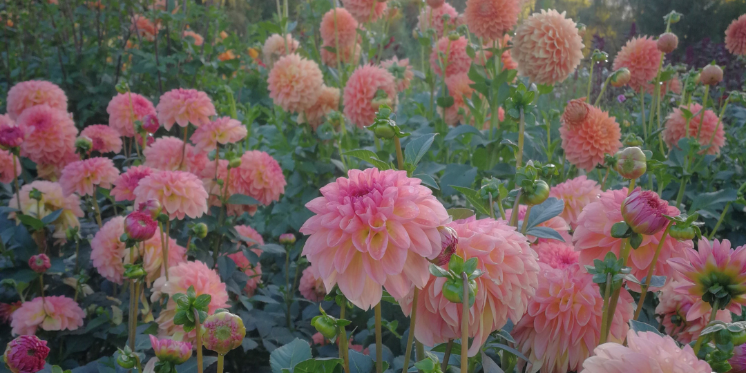 Stems Dahlia Field