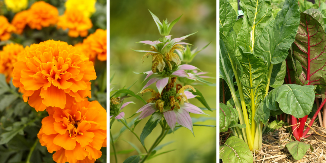 Marigold, Bee Balm and Swiss Chard