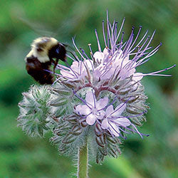 Bees Friend Seed