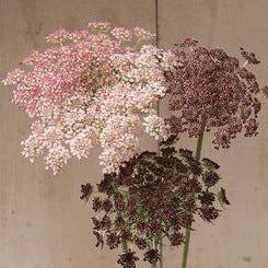 Daucus Seed - Chocolate Lace Flower