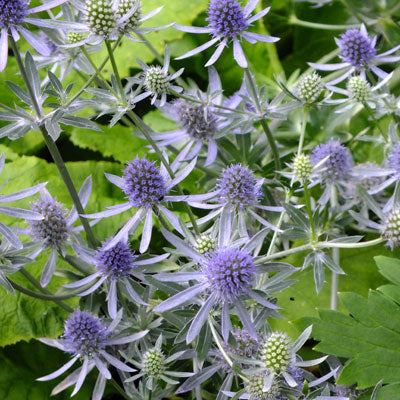 Sea Holly - Blue Glitter