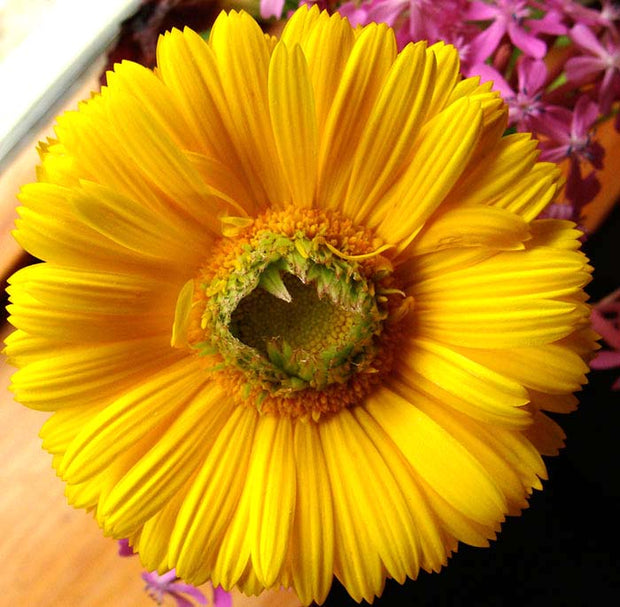Calendula  - Greenheart Gold
