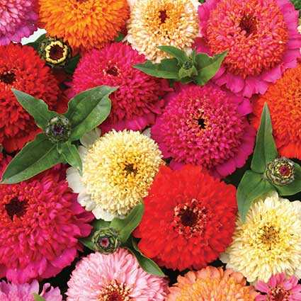 Zinnia Seed - Candy Mix