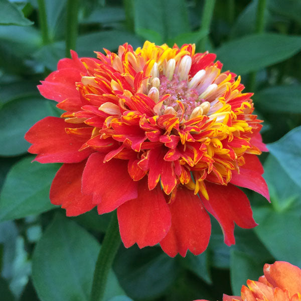 Zinnia Seed - Cupcakes Deep Orange