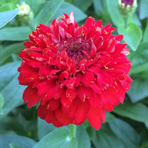 Zinnia Seed - Cupcakes Red
