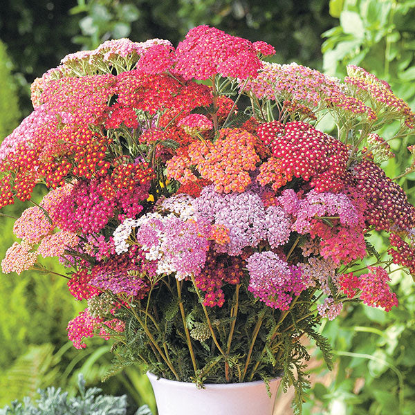 Yarrow Seed - Flowerburst Red
