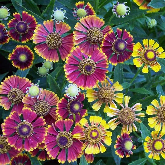 Helenium Seed - Red & Gold Hybrids