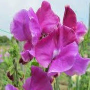 Sweet Pea - Richard & Judy