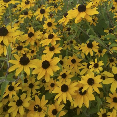 Black Eyed Susan - Brown Eyed Susan Macau