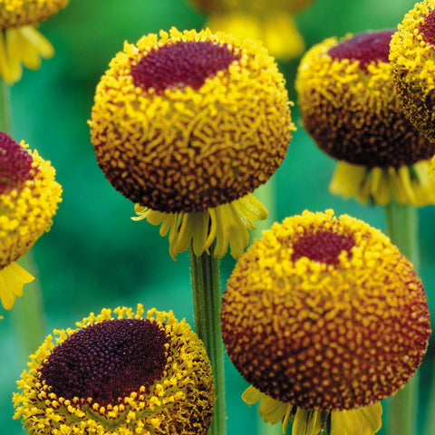 Sneezeweed - Autumn Lollipop