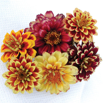 Zinnia - Aztec Sunset