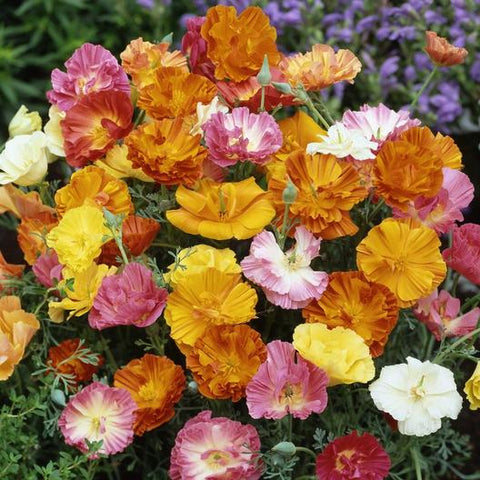 California Poppy - Ballerina Mix