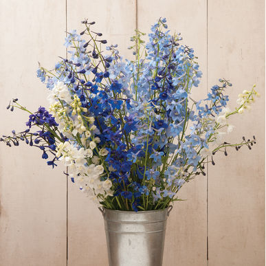 Delphinium - Belladonna Mix
