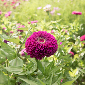 Zinnia Seed - Benary Purple